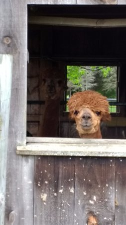 Whately, MA: Hitchcock Alpaca #2