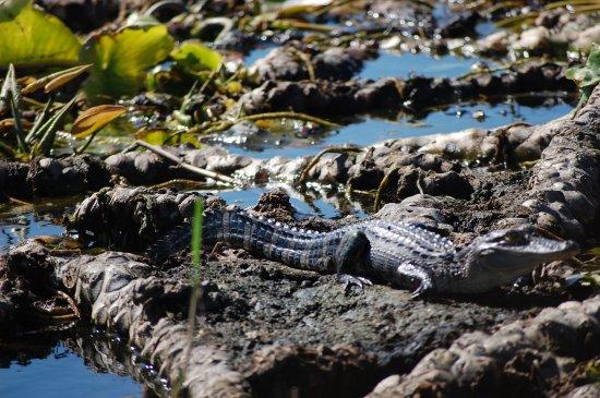Saint Cloud, FL: Young gator