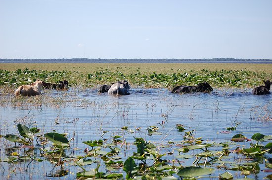 Wild Willy's Airboat Tours : Heard of cows cooling off