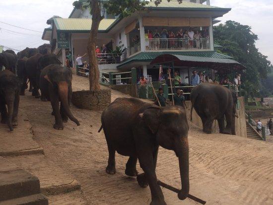 Pinnawala Elephant Orphanage: Elephants walking down to the bathing area