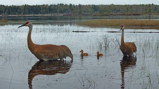 La Pointe, WI: Sand Hill Cranes