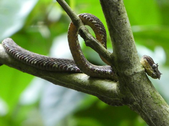 Parrita, Costa Rica: Eyelash Pit Viper spotted early on