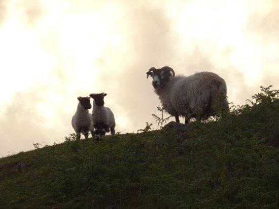 Bunessan, UK: Ardness House sheep