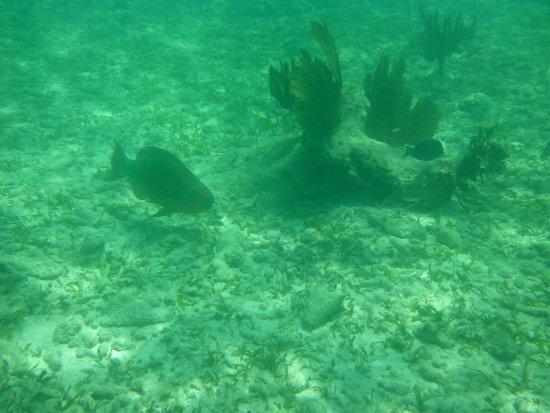 Molasses Reef: Large Parrot Fish
