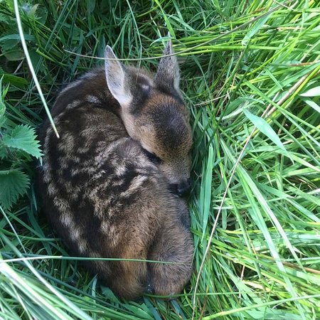 Charmouth, UK: Fawn resting in the meadow