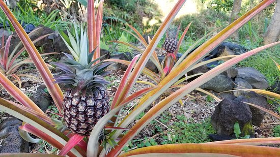 Aloha Guest House: Home grown pineapple