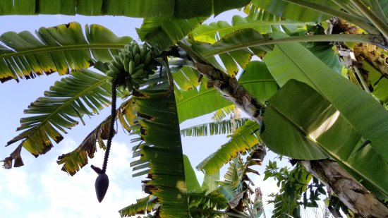 Aloha Guest House: Home grown bananas