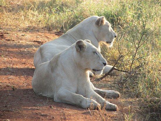 Elandela Private Game Reserve: Leones blancos muy bonitos en Elandela