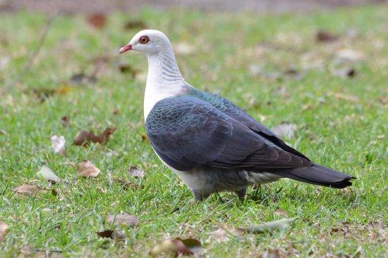 Coopernook, Australia: White-headed Pigeon