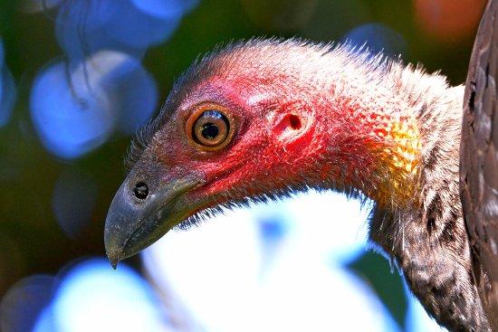 Old Bar, Avustralya: Australian Brush-turkey profile