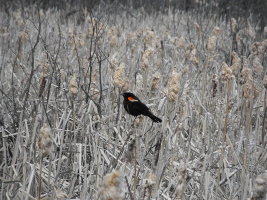 St. Albert, Canada: Red winged blackbird (male)