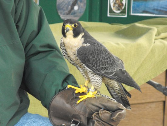 St. Albert, Canada: Peregrine falcon (Big Lake Environment Support Society special event)