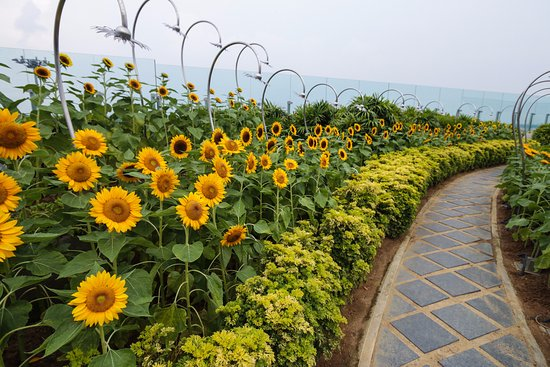 Take A Walk And Enjoy These Cheerful Looking Sunflowers Picture