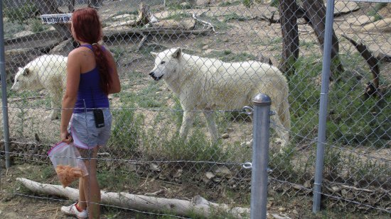 Ramah, NM: Arctic Wolves