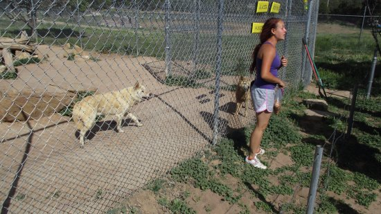 Ramah, NM: Dingos
