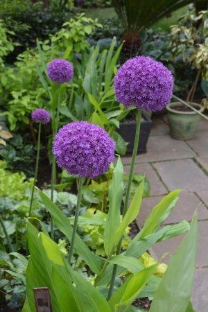 Wayne, PA: Alliums in May