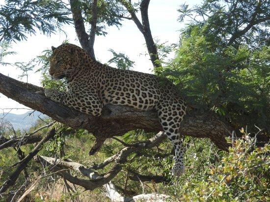 Impodimo Game Lodge: Leopard sighting