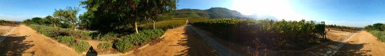Constantia, Zuid-Afrika: Soun soaked vineyard..