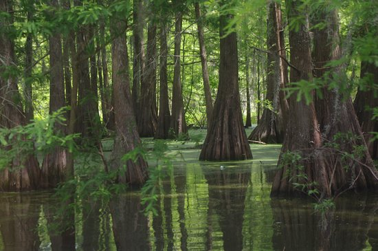 Breaux Bridge, LA: cyprus trees dominate the swamp, the oldest is some 500 years old.