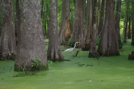 Breaux Bridge, LA: This is a white ibis, but there are giant blue herons, anhingas, ducks, and many more species.