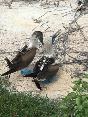 Isabela, Equador: Blue-footed boobies doing a mating dance