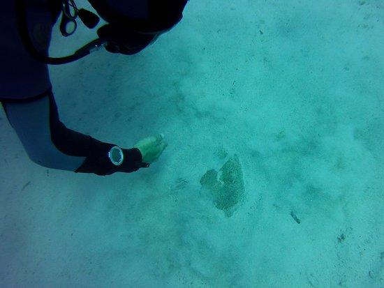 Plongée Malte: Une raie torpille / torpedo, t rouvée par notre instructeur
