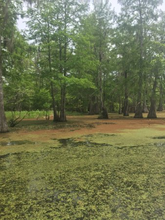 Champagne's Cajun Swamp Tours : A memorable and relaxing way to spend a few hours and learn about the local ecosystem while havi