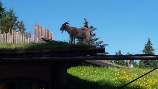 Discover Canada Tours : Goats on the roof at Farmers Market in Coombs.