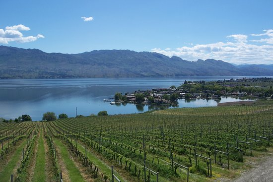 West Kelowna, Canada: Some of these vines have roots down to 30 feet or more. Water levels on the lake high right now.