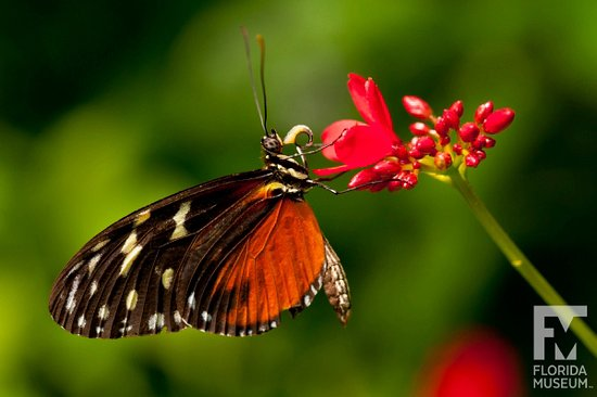"""A Tigerwing in the Florida Museum of Natural History's """"Butterfly Rainforest."""" Photo by Eric Zam"""