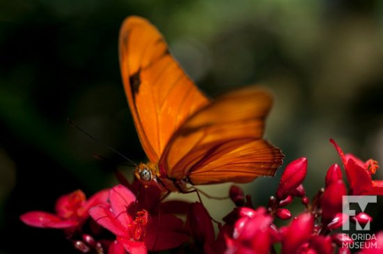 """A Julia feeds in the Florida Museum """"Butterfly Rainforest"""" exhibit. Photo by Eric Zamora"""