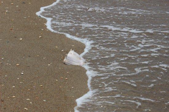 Beaufort, Carolina del Norte: Nice big shells