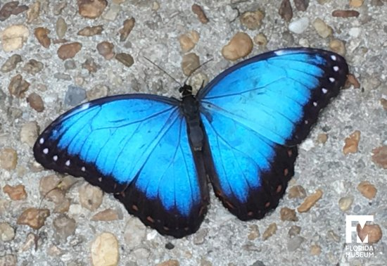 """A Blue Morpho in the """"Butterfly Rainforest."""" Florida Museum photo by Paul Ramey"""