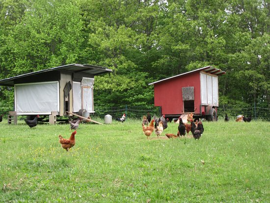 Woodstock, CT: Happy chickens lay better eggs.