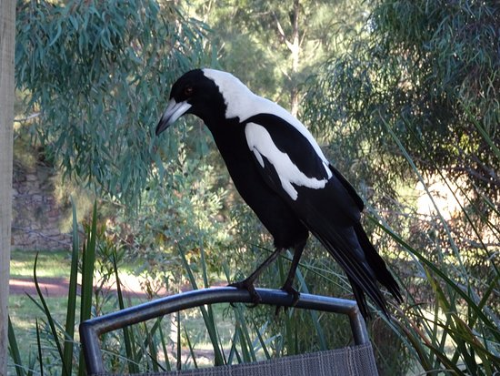 Dunkeld, Avustralya: The magpie visited our deck every day