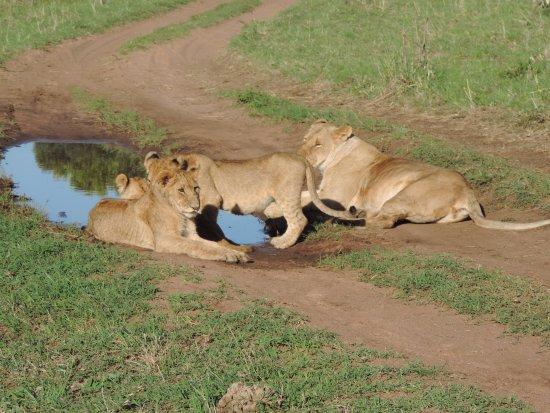 Big 5 Lions,YHA Kenya Travel, YHA Kenya Travel Tours Safaris, Safari in Kenya, Go Kenya,Kenya Sa