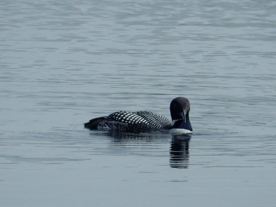 Lac le Jeune Resort: loon