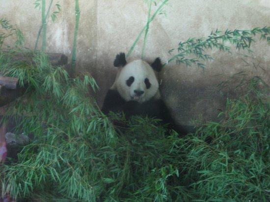Changsha County, China: панда