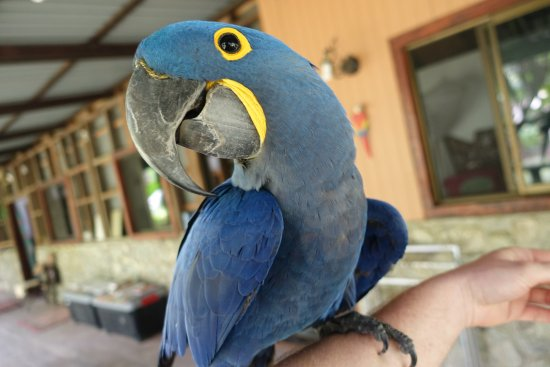 Carate, Costa Rica: hyacinth macaw