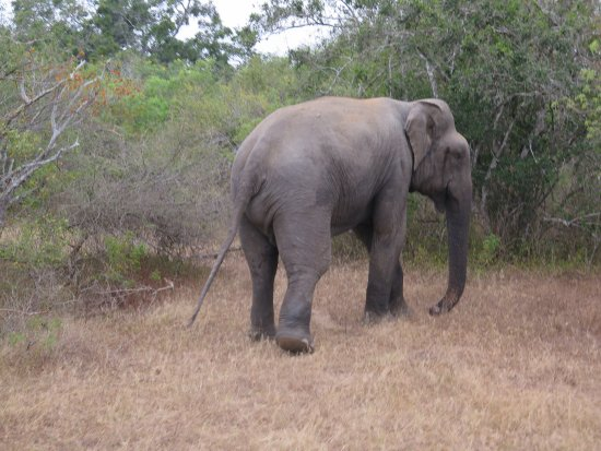 Click Here For An Image Of A Male Asian Elephant In Musth With The Temporal Gland Secretions Pouring Down His Cheek