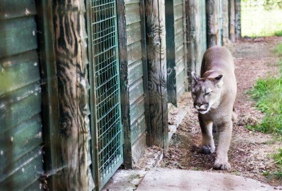 Smarden, UK: Beautiful Panther
