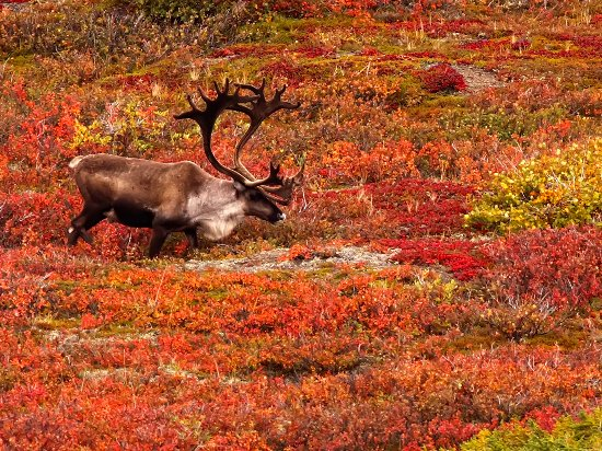 Yukon, Canada: Fall is a time of migration for many animals