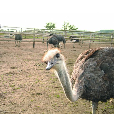 Ostrich Farm Kniewo