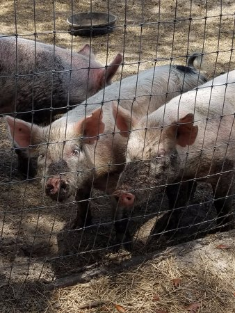 Sweetfields Farm: Fed the pigs and watched a pig race