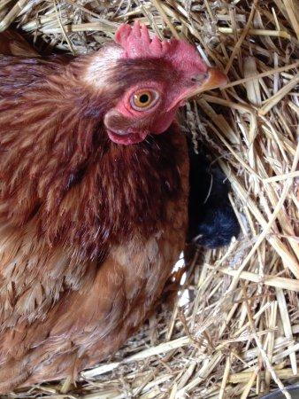 Berry Bouy, Francia: Le parc : une des poules