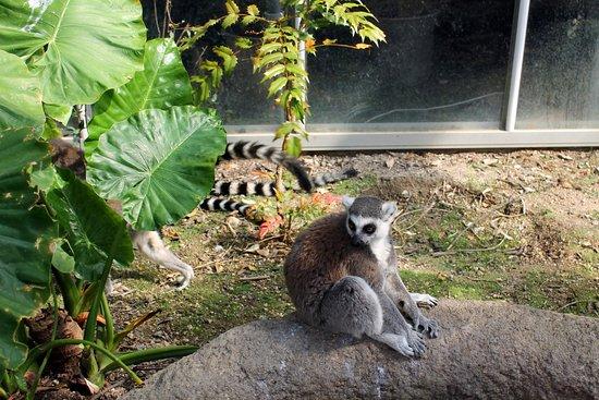 Kobe, Japan: More lemur freedom.