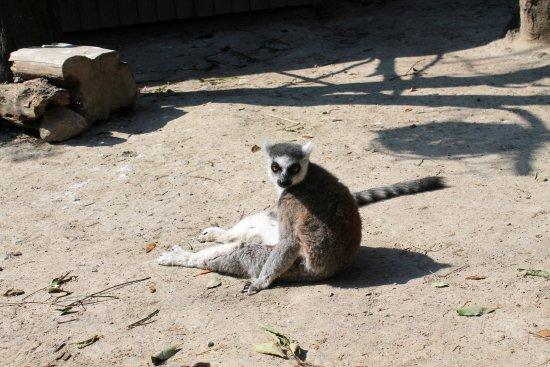 Kobe, Japan: Lemur