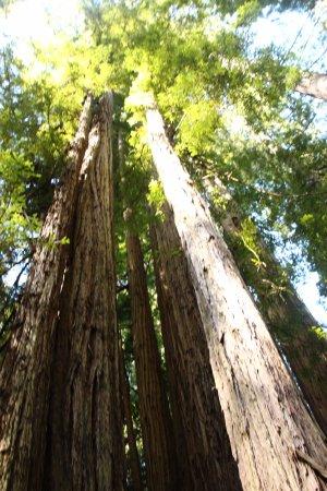 Orick, CA: Tall Trees
