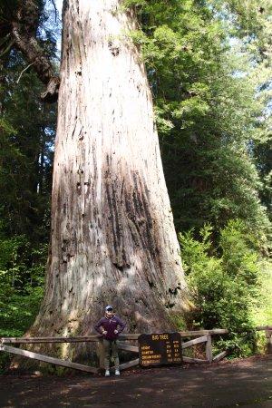 Orick, CA: Big Tree, near the parking lot
