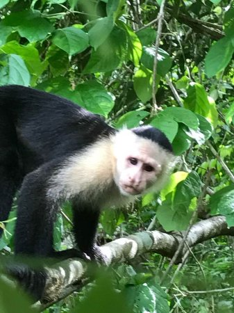 Gatun Explorer Panama Canal Jungle Day Tour : We saw some very polite Capuchins who gently but efficiently grabbed some peanuts from us.